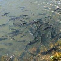 Tonto Fish Hatchery (Outside Payson)